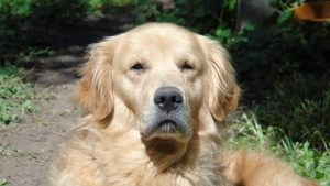 Golden retriever - our top pick for the best dog for scared child